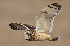 Pennsylvania Short-eared Owl