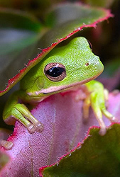 Green Tree Frog - Steve Ellwood