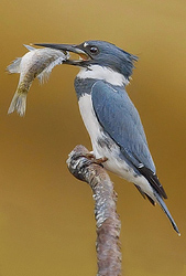 Belted Kingfisher - Steve Ellwood
